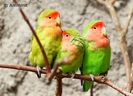 peachfacedlovebirdthreeparrots