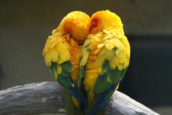 hd-picture-the-cuddling-parrot-forms-heart-shaped