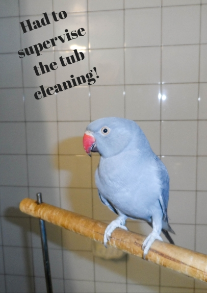 indian-ringneck-cleaning