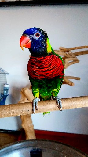 Rasta - green naped Lorikeet