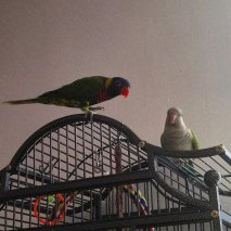 Lorikeet and Monk Parakeet