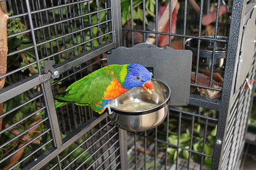 lorikeet eating